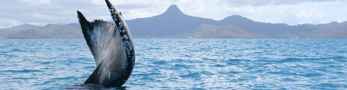 caudale d'une baleine à bosse